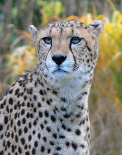 Cheetah in de Kölner Zoo