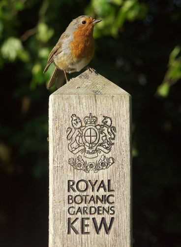 Roodborstje in de Royal Botanic Gardens