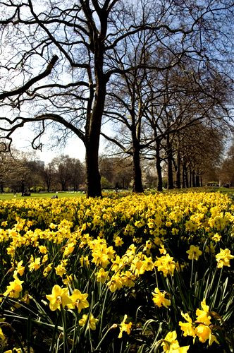 Narcissen in St. James's Park