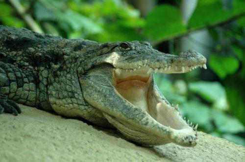 Krokodil met open bek