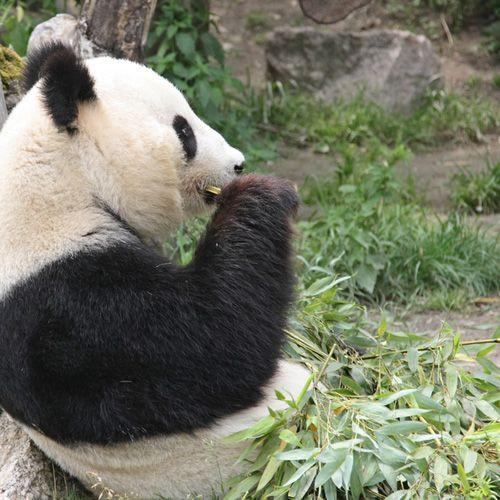 Panda in de Tiergarten Schönbrunn