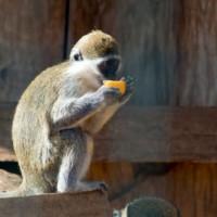 Aapje in de Attica dierentuin
