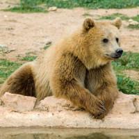 Bruine beer in de Attica dierentuin