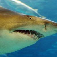 Haaienkop in L'aquarium