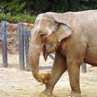 Indische olifant in de Belfast Zoo