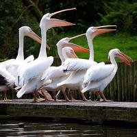 Pelikanen in de Zoo