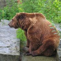 Bruine beer in de Berengroeven