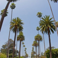 Palmbomen in Beverly Hills