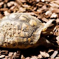Zeldzame schildpad