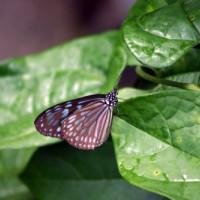 Vlinder in de Zoölogische en Botanische Tuinen