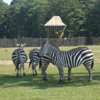 Zebra's in Brookfield Zoo