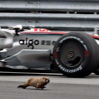 Bosmarmot op het Circuit Gilles Villeneuve