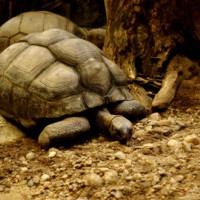 Schildpad van de Dusit Zoo