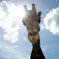 Giraffe in de Dusit Zoo