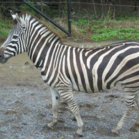 Zebra in de Dusit Zoo