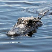 Alligator in het water