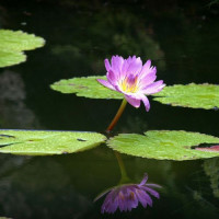 Waterlelie in de Fairchild Garden