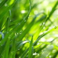 Gras van Gurten