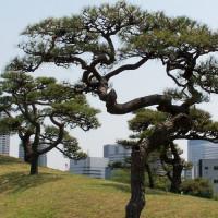 Bomen in de Hama Rikyu tuin