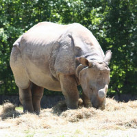 Neushoorn in de Hellbrunn Zoo