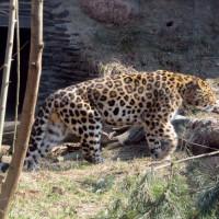 Luipaard in de Korkeasaari Zoo