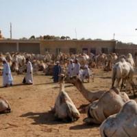 Beeld van de Birqash Kamelenmarkt