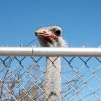 Struisvogelkop
