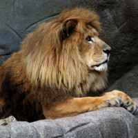 Leeuw in de London Zoo