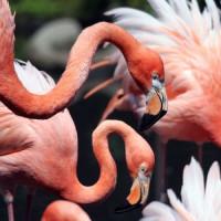 Flamingo's in de Miami MetroZoo