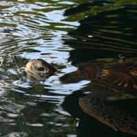 Schildpad in het Aquarium Musée d'Arcachon