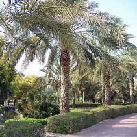 Palmbomen in Mushrif Park