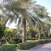 Palmbomen in Mushrif Park