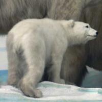 Baby ijsbeer