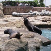 Zeeleeuwen in Ocean park