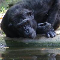 Drinkende chimpansee