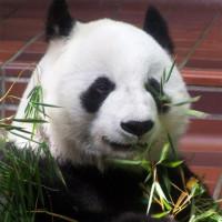 Panda in het Uenopark
