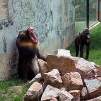 Bavianen in het Parque Zoologico de Córdoba