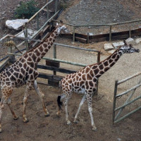 Giraffen in het Selwo Aventura