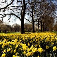 Narcissen in St. James's Park