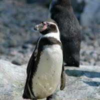 Pinguin in Wenen