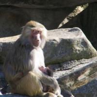 Baviaan in het Tierpark Hellabrunn