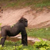 Gorilla in het Tierpark Hellabrunn