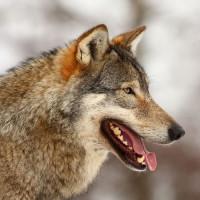 Wolf uit het Tierpark Dählhölzi