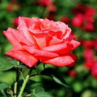 Roos in de Volksgarten