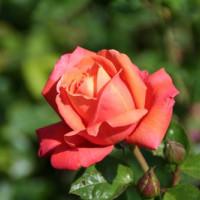Roos in het Vondelpark