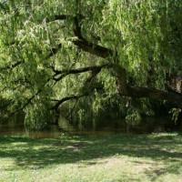 Hangende boom in het Vondelpark