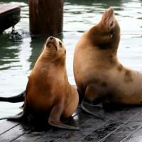 Twee zeeleeuwen op Pier 39