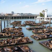 Zeeleeuwen in San Francisco