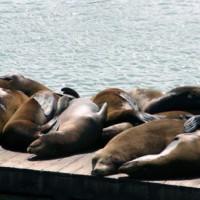 Zonnebadende zeeleeuwen