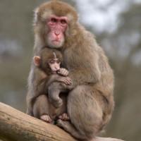 Berberaap met jong in de Antwerpse Zoo